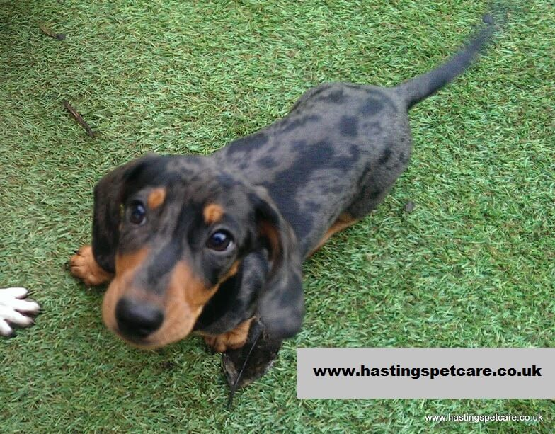 Bruno - the Doxie - Puppy Socialisation and Habituation Hastings
