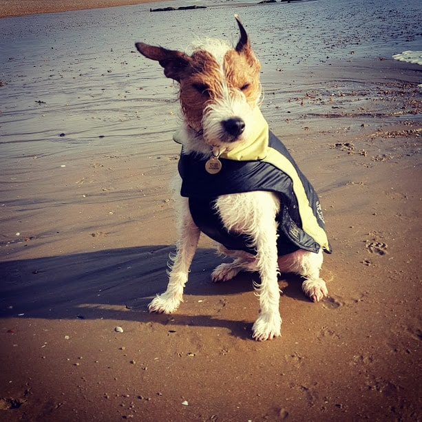 Dog Walkers Hastings Parson Russell Terrier