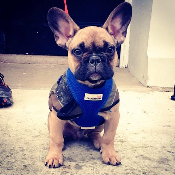 French Bulldog - Hastings - St Leonards - Fairlight Dog Walkers Walking