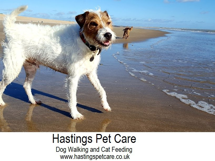 Essential St Leonards - George the Parsons Terreir - Hastings Dog Walkers