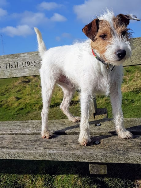 Parson Russell Terrier George Hastings and St Leonards Dog Walker