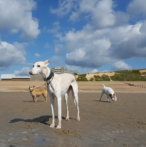 Peggy Whippet Dog Walkers Hastings and St Leonards
