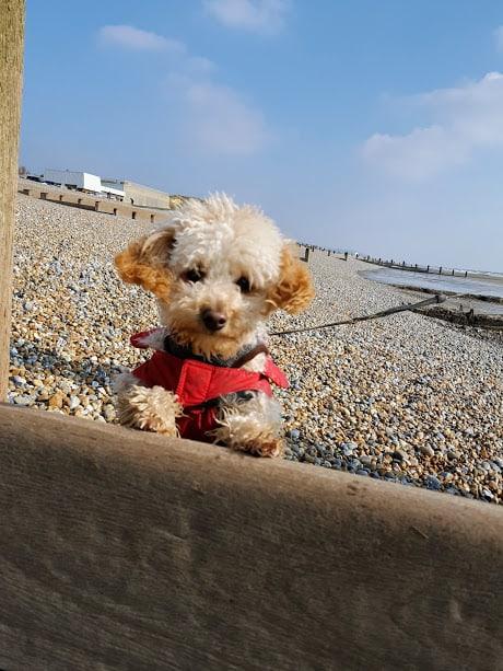 Poodle Dog Walkers - Hastings - Fairlight - Winchelsea - Pett