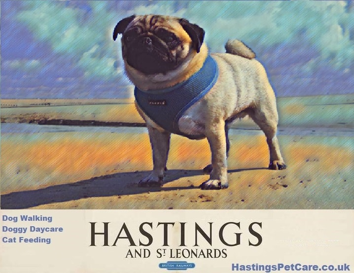 Pug Rocky - Hastings Pet Care Dog Walkers - St Leonards - Fairlight