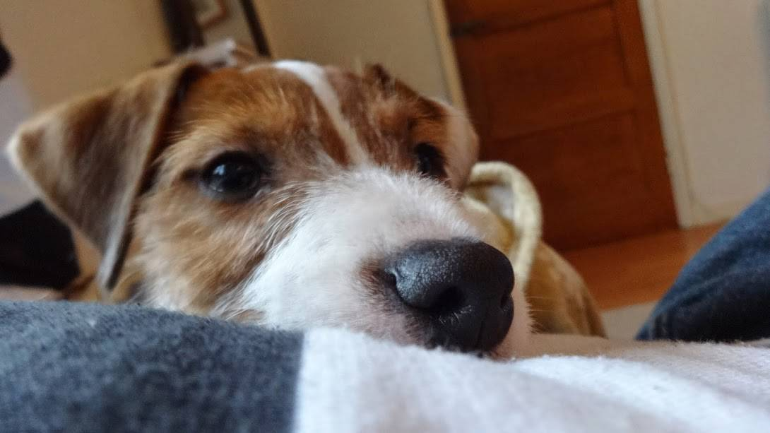 Dog Walking Puppy Care Walks and Walkers - Hastings and St Leonards - Parsons Terrier Puppy George