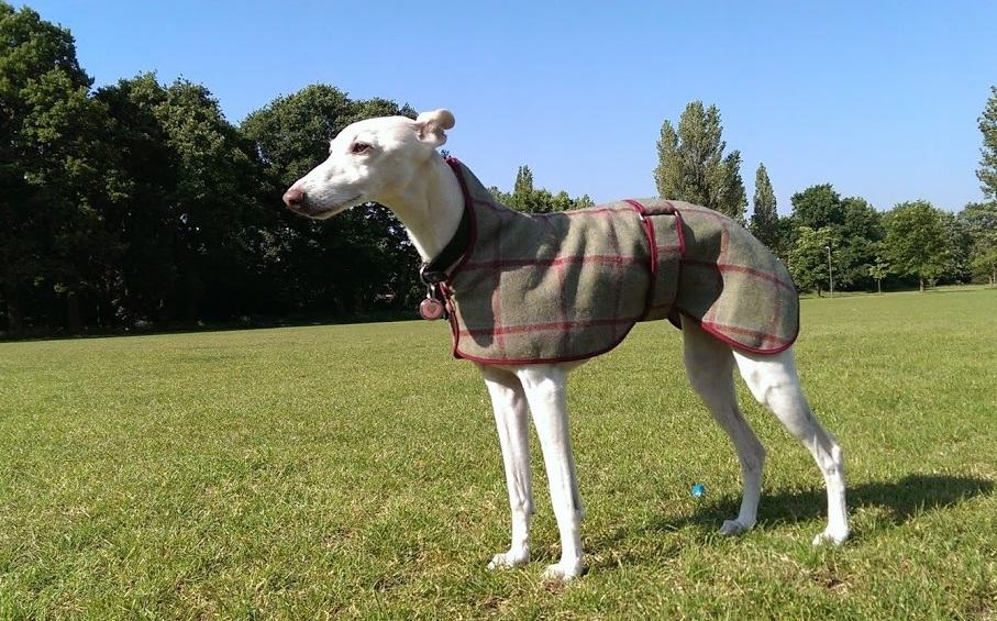 Whippet - Dog Walking Services Hastings East Sussex