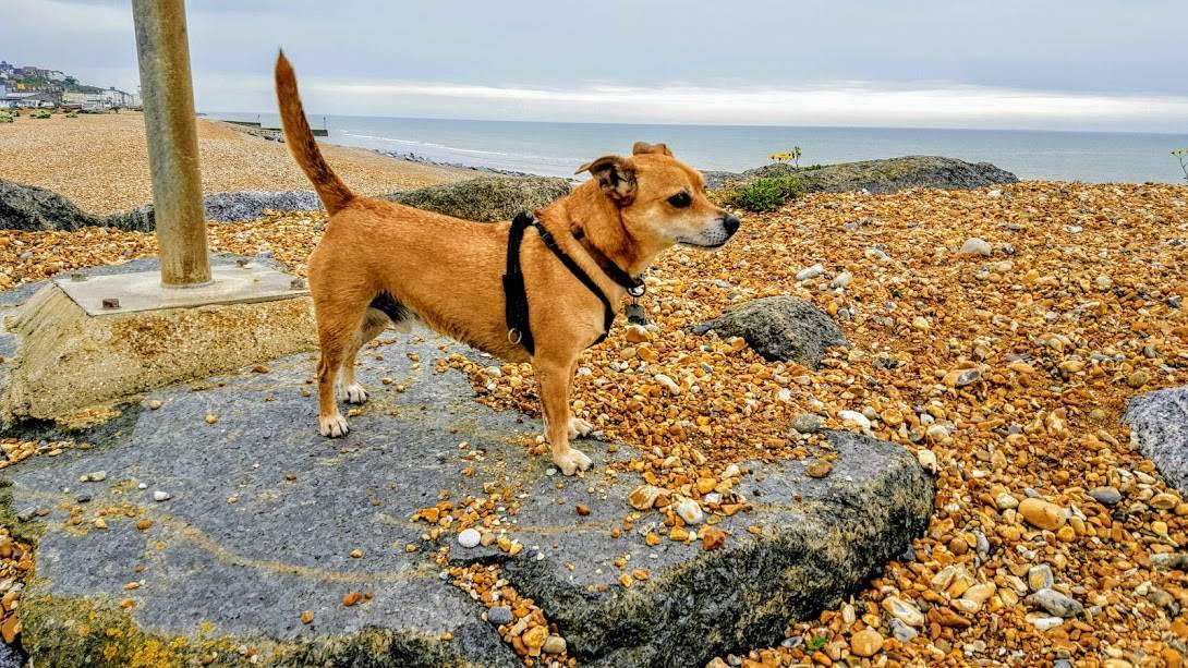 Dog Walking Beach Life